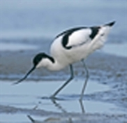 RSPB welcomes avocets to Old Moor
