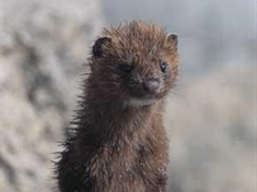 Warnings over mink went unheeded