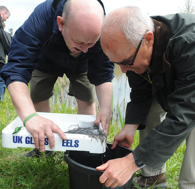50,000 eels released at Old Moor