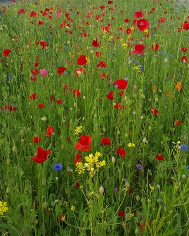 Council defends wildflower cutbacks