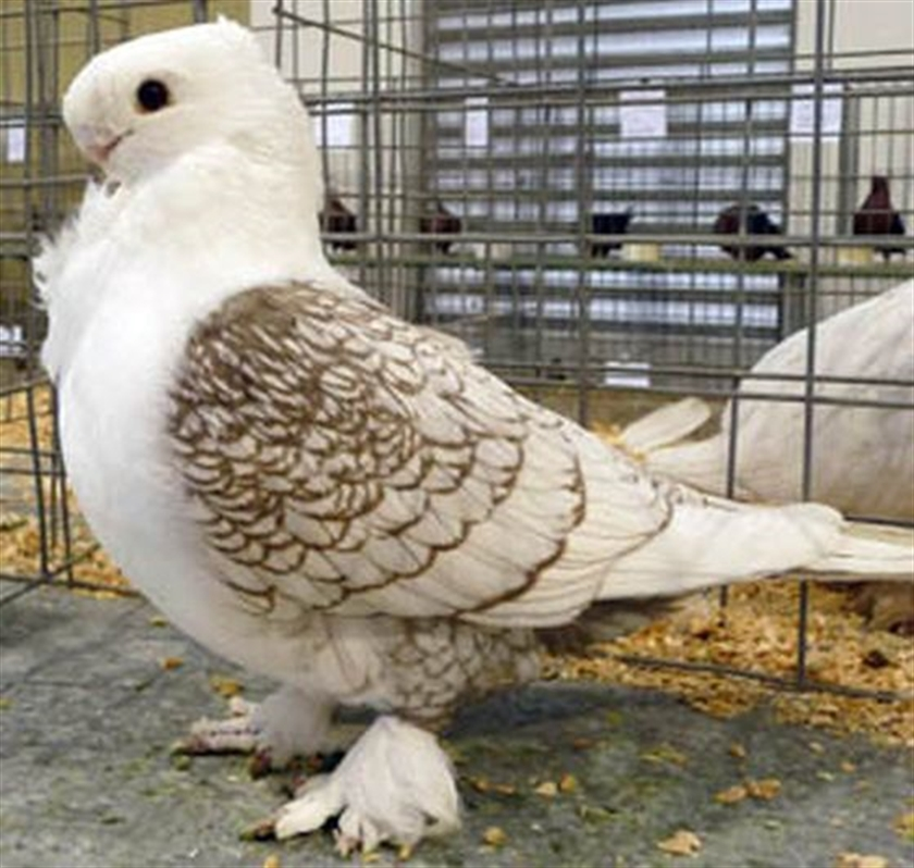 Appeal to reunite fancy pigeon with owner