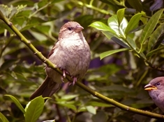 House sparrow is number one bird in South Yorkshire