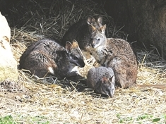 VIDEO: Baby wallaby warming hearts at wildlife centre