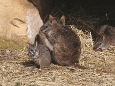 What an Oz-some name: new arrival to be named Holly Wallaby!