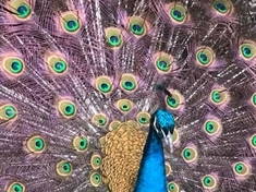 Missing Frank the peacock ruffling owner's feathers as hunt continues for big bird