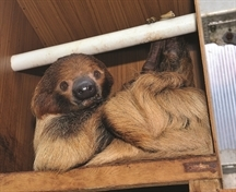 Snoozing on the job: meet Mr Sloth, wildlife centre's sleepy new favourite