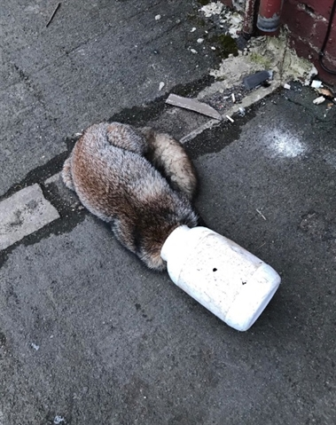 Fox with container stuck on its head knocks on Rotherham couple's door for help