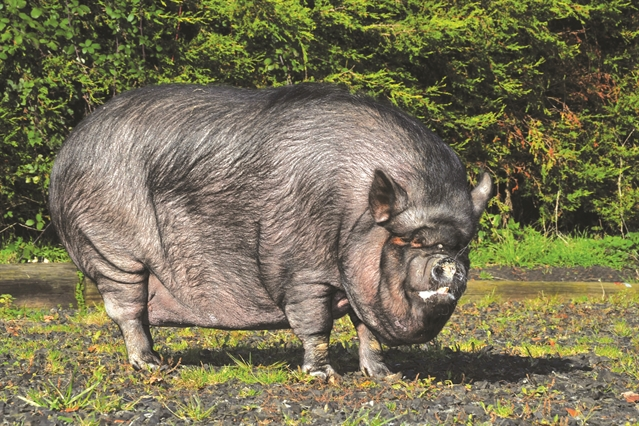 VIDEO: 30st pig Twiglet enjoys new life after Dinnington flat rescue
