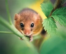 WILDLIFE: Dormice in danger but there is hope