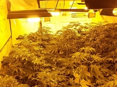 One arrest and 400 cannabis plants found in Parkgate raid