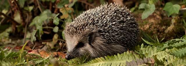 Help save Britain's hedgehogs